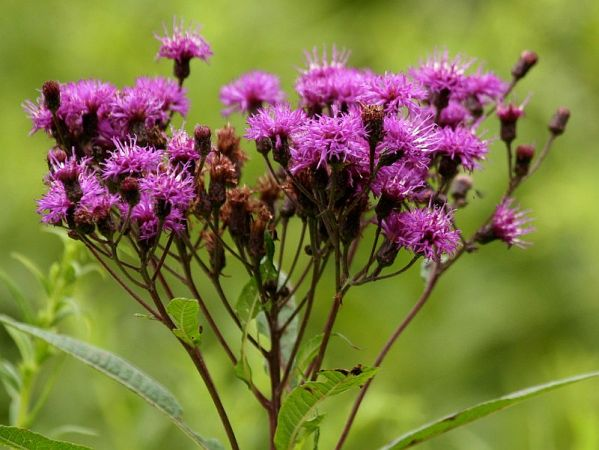 Tall Ironweed (photo by Chuck Tague)