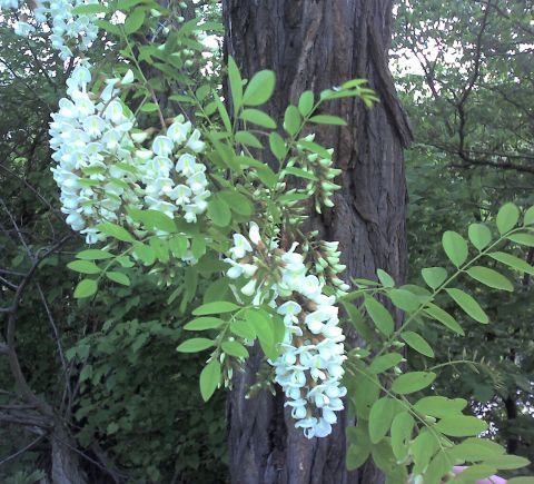 Black Locust tree in bloom (photo by Kate St. John)