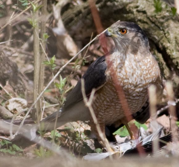 Adult Coopers Hawk (photo by Cris Hamilton)