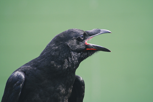 Common Raven (photo by M.I.K.E. via Shutterstock)