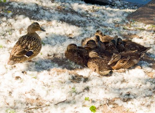 Ducks in a huddle (photo from Shutterstock)