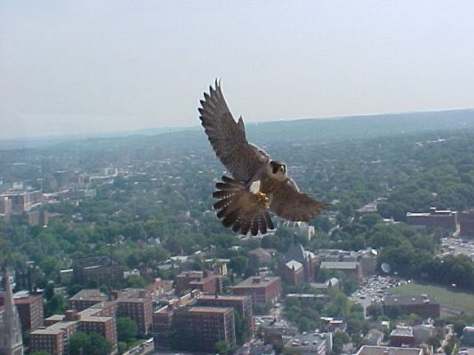 Peregrine falcon, Dorothy, defends her territory, May 25, 2004 (photo by Jack Rowley)