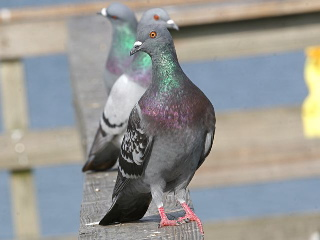 Rock pigeons (photo by Chuck Tague)