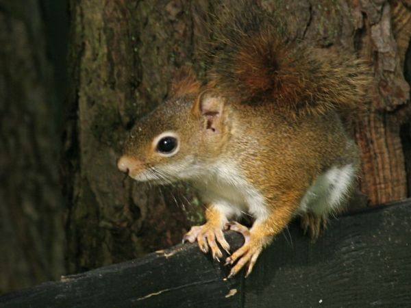 Red Squirrel (photo by Chuck Tague)