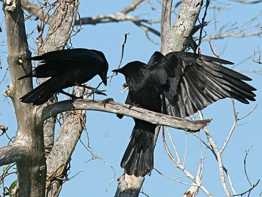 American crows (photo by Chuck Tague)