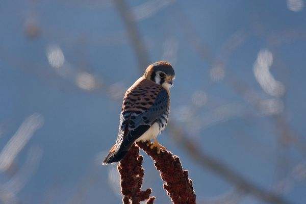 American Kestrel, male (photo by Brian Herman)
