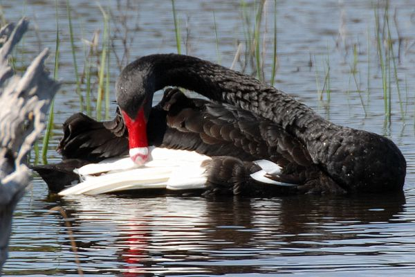 Black Swan (photo from Wikimedia, in the public domain)