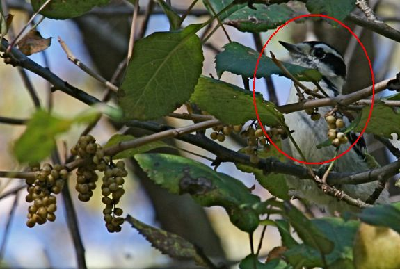 Downy Woopecker eating poison ivy berries (photo by Chuck Tague)
