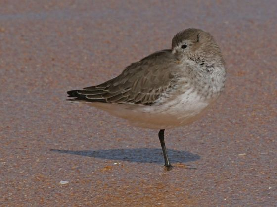 Dunlin in basic (winter) plumage (photo by Chuck Tague)