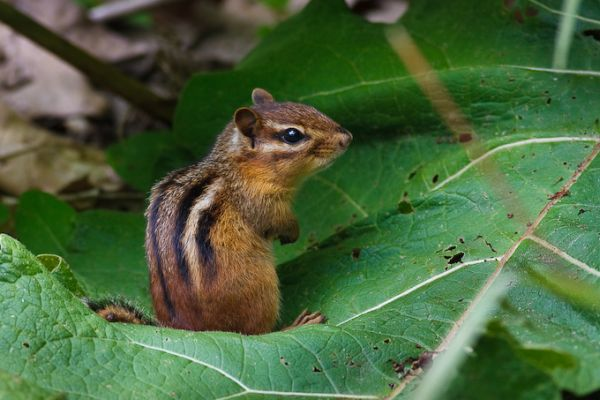 Eastern Chipmunk (photo by Brian Herman)