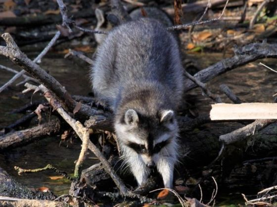 Raccoon (photo by Chuck Tague)
