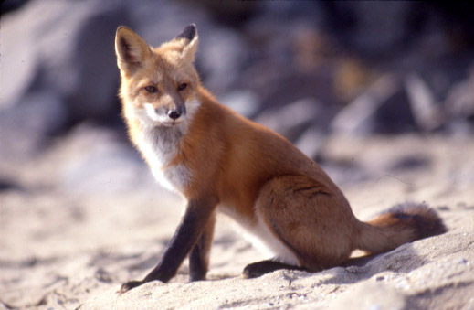 Red fox (photo from the National Park Service)