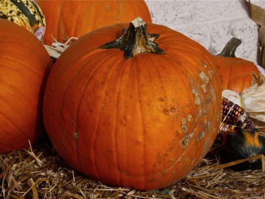 Pumpkin (photo by Chuck Tague)