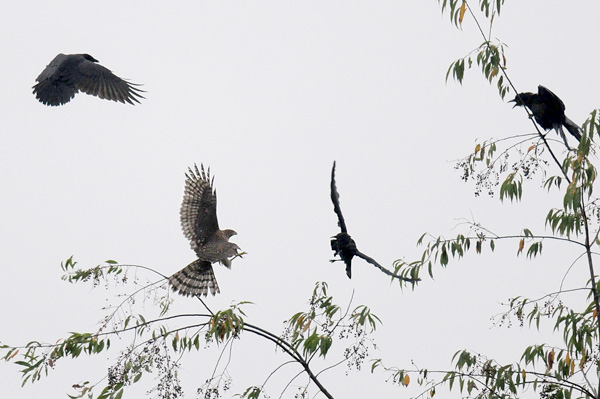 American crows attacking an immature Coopers Hawk (photo by Steve Gosser)