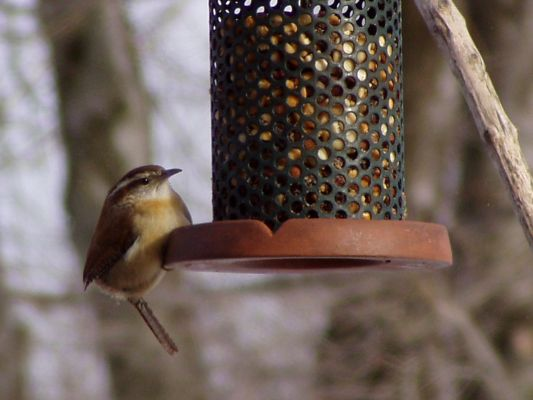 Carolina Wren (photo by Marcy Cunkelman)