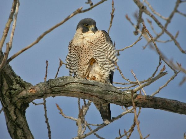 Peregrine falcon, Diana, in Shaker Heights, OH (photo by Chad+Chris Saladin)