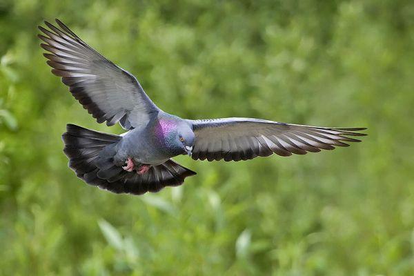 Rock Pigeon in flight (by Alan D. Wilson)