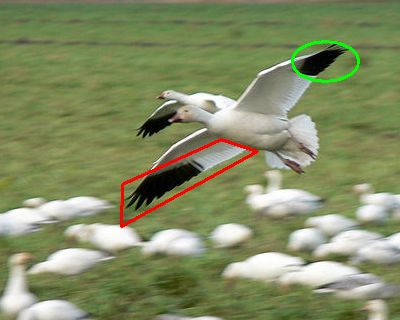 Snow goose with primaries and remiges marked (photo from Wikipedia, retouched)