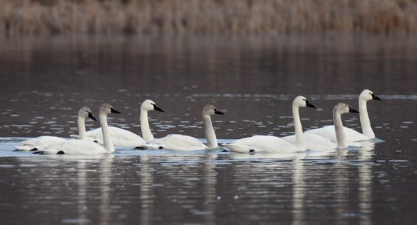 Tundra Swans (photo by Steve Gosser)