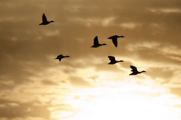 Flock of ducks (photo by Brian Herman)
