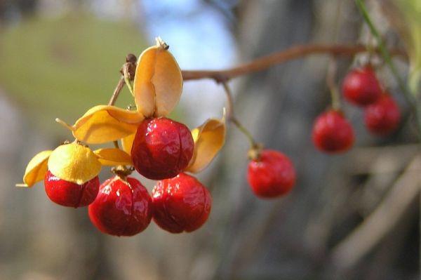 Oriental Bittersweet fruit (photo by Dianne Machesney)