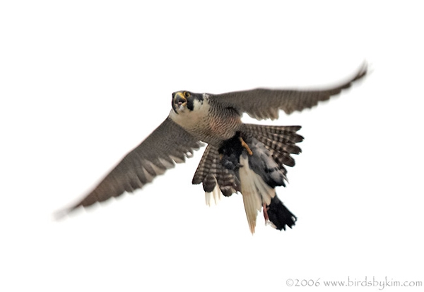 Peregrine falcon carrying prey (photo by Kim Steininger)