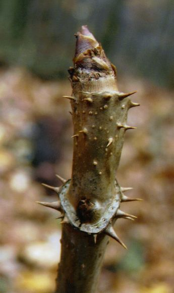 Devil's Walking Stick bud (photo by Dianne Machesney)