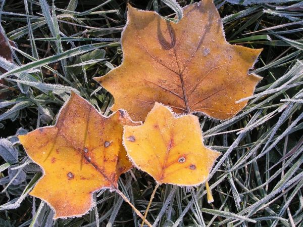 Frosty leaves (photo by Dianne Machesney)