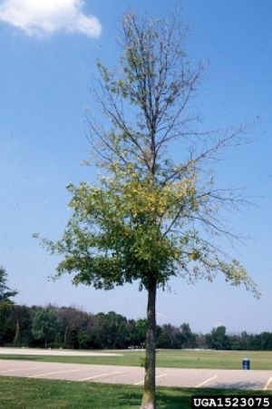 Ash tree dying of Emerald Ash Borer (photo from PA DCNR's EAB website)