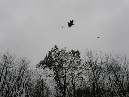 An oak leaf flies in November wind (photo by Marcy Cunkelman)