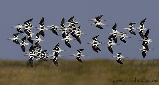 American Avocets at Bombay Hook (photo by Kim Steininger)