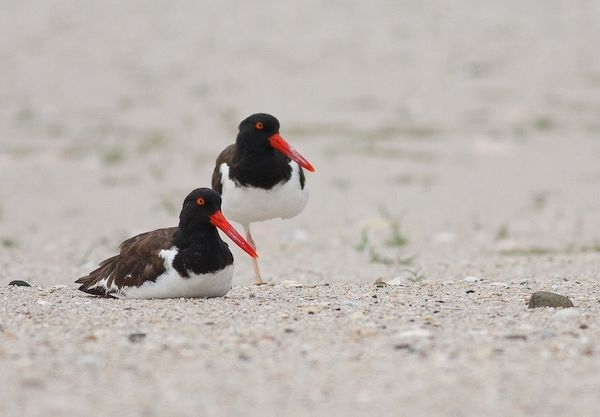 American Oystercatchers (photo by Brian Herman)