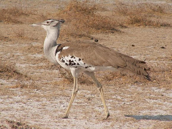 Kori Bustard in Etosha Namibia (photo by Winfried Bruenken, published at Wikipedia)