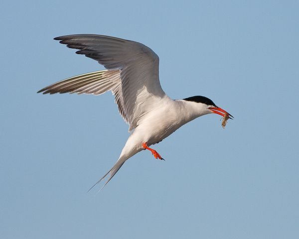 Common Tern (photo by Brian Herman)