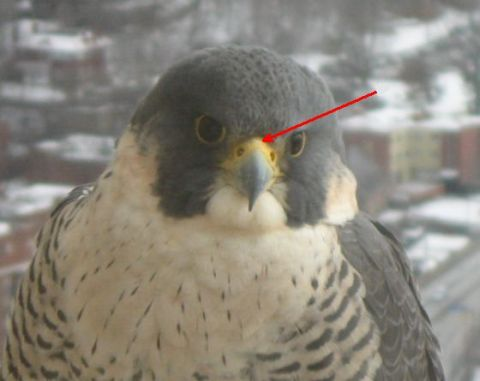 Illustration of the cere on a peregrine (photo by Pat Szczepanski, retouched)