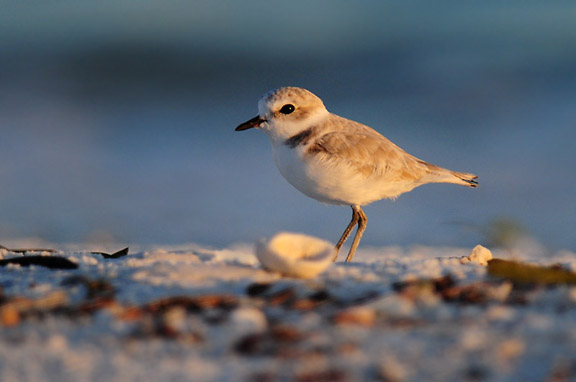 Snowy Plover (photo by Steve Gosser)
