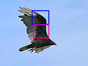 Turkey Vulture with lines showing underwing coverts (photo by Chuck Tague)