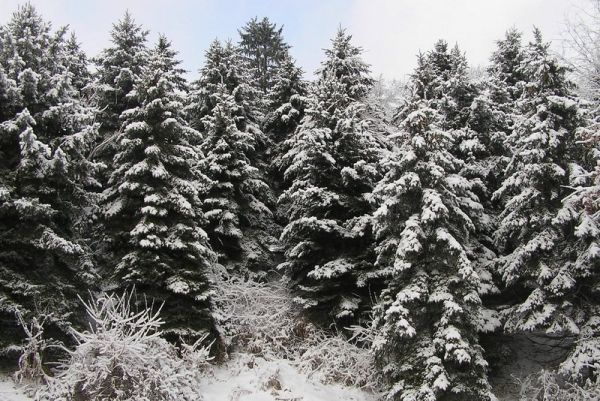 Snow on pines (photo by Dianne Machesney)