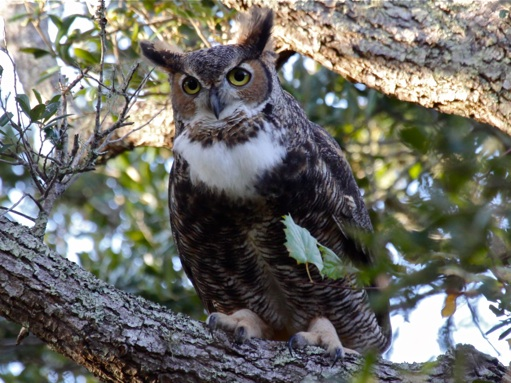 Great-horned owl, hooting (photo by Chuck Tague)