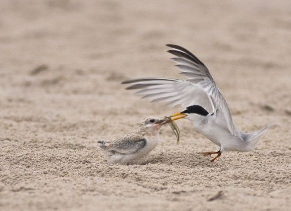 Least Tern feeding young (photo by Brian Herman)