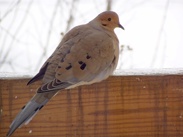 Mourning Dove in winter (photo by Marcy Cunklelman)