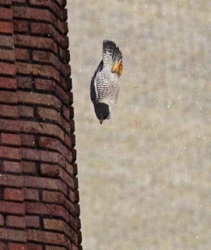 Peregrine falcon, SW, stoops at prey in Cleveland (photo by Chad+Chris Saladin)