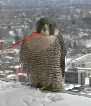 Peregrine falcon, Dorothy, illustrating malar stripe (photo by Pat Szczepanski)