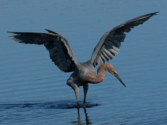 Reddish Egret (photo by Chuck Tague)