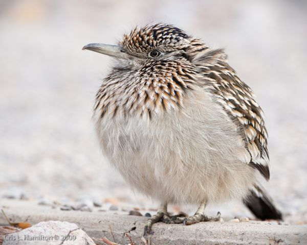 Roadrunner (photo by Cris Hamilton)