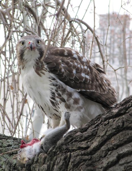 Immature red-tailed hawk eating at the library (photo by Beth Lawry)