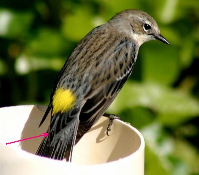 Yellow-rumped Warlber, illustrating upper tail coverts (photo by Chuck Tague)
