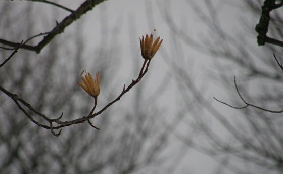 Tulip tree seed pod in winter (photo by Marcy Cunkelman)