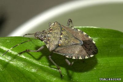 Brown marmorated stink bug (photo from The Bugwood Network via Wikimedia)