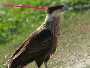 Juvenile Crested Caracara (photo by Chuck Tague, altered to highlight its crest)